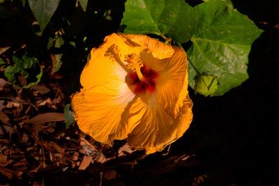 Thumbnail image ofYellow hibiscus, malvaceae, flower in full bloom.