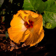 Yellow hibiscus, malvaceae, flower in full bloom.