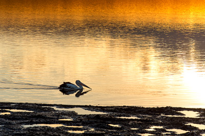 Thumbnail image ofPelican looking for breakfast in the sunrise on...