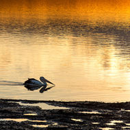 Pelican looking for breakfast in the sunrise on the Clarence River.