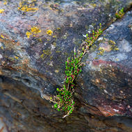 Saline resistant plant growth on the Tessellated Pavement.