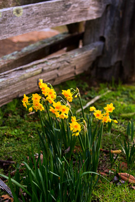 Thumbnail image ofDaffodils in the garden of the Commandant's house.