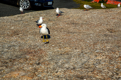 Thumbnail image ofSea gulls lining up for a peck at an oyster shell...
