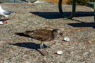 Thumbnail image ofSea bird cleans up an oyster shell and has another...