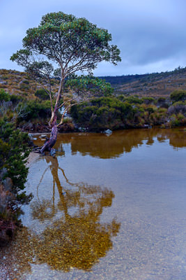 Thumbnail image ofTasmanian snowgum stands on the edge of the clear...