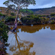 Tasmanian snowgum stands on the edge of the clear water of Dove Lake.