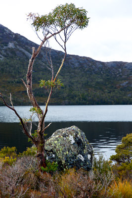 Thumbnail image ofStunted and weatherworn snowgum and lichen covered...