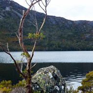Stunted and weatherworn snowgum and lichen covered granite boulder at Dove Lake.