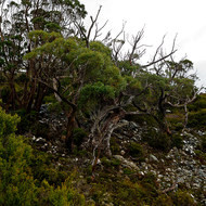 Tasmanian snowgums growing in granite moraine rubble.