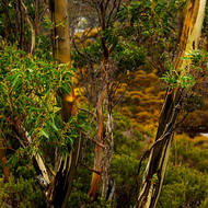 Multi-colored trunks of a Tasmanian snowgum in the rain.