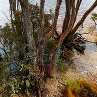 Tree, with lichen covered leaves, rooted in the sand and gravel of Dove Lake.