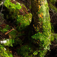 Lichen and moss reclaim fallen trees on the forest floor.