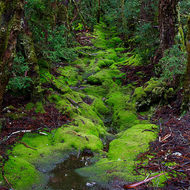 Mossy banked dryish creek bed in Weindorfer�s Forest.