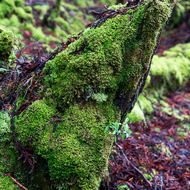 Moss covered rotting tree in Weindorfer�s Forest.