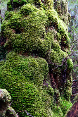 Thumbnail image ofMoss covered tree trunk in Weindorfer's Forest.