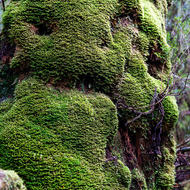 Moss covered tree trunk in Weindorfer's Forest.