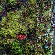 Moss and orange lichen cover a tree trunk in Weindorfer's Forest.