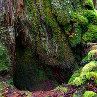 Textures of Weindorfer�s Forest, moss covered tree trunk.