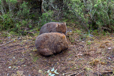 Thumbnail image of Pair of young wombats, vombatus ursinus, foraging...