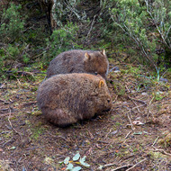 Pair of young wombats, vombatus ursinus, foraging in the crepuscular forest light.