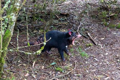 Thumbnail image ofTasmanian Devil, sarcophilus harrisii, yawning.