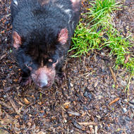 Tasmanian Devil, sarcophilus harrisii, considers ripping my leg off.