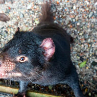 Inquisitive little Tasmanian Devil, sarcophilus harrisii.