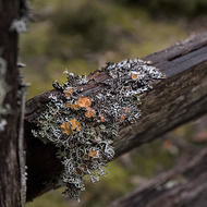 Branched lichen on old fence.