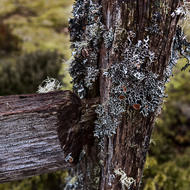 Lichen covered old split log fence post.