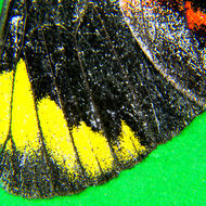 Scales on the wingtip of Black Jezebel, delias nigrina, butterfly.