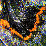 Some of the thousands of scales on the wingtip of Black Jezebel, delias nigrina, butterfly.
