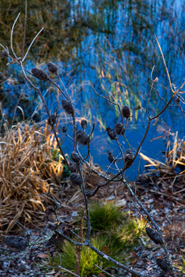 Thumbnail image of Dry seed pods of a banksia hang out over a lagoon.