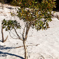 Young paperbark tree, melaleuca, growing on the white sandy shore of Lake McKenzie.