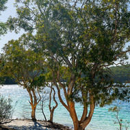 Paperbark trees, melaleuca, on the shore of Lake McKenzie.