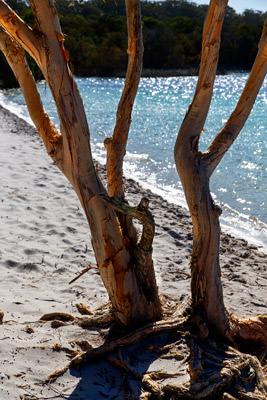 Thumbnail image ofPair of paperbark trees, melaleuca, in the morning...
