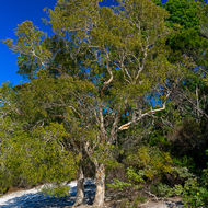 Paperbark tree, melaleuca, on the shore of Lake McKenzie.