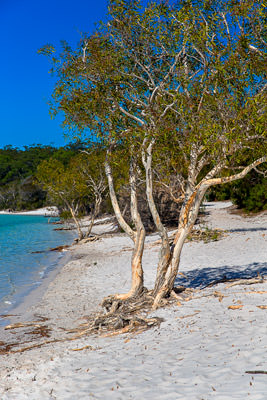 Thumbnail image of Paperbark trees, melaleuca, on the shore of Lake...