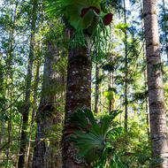 Staghorn ferns growing on a host tree.