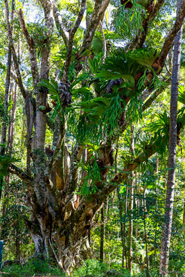 Thumbnail image of Staghorn ferns in profusion growing on a host...