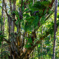 Staghorn ferns in profusion growing on a host tree.