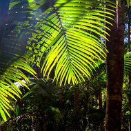 Backlit palm frond in the rainforest.