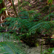 Rare angiopteris fern growing in Wanggoolba Creek.