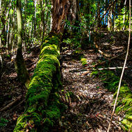 Moss covered fallen tree on the slope above Wanggoolba Creek.