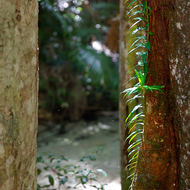 Rainforest creeper climbs a tree in search of light.