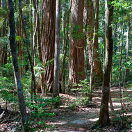 Sandy rainforest trail leads through turpentine trees, syncarpia glomulifera.