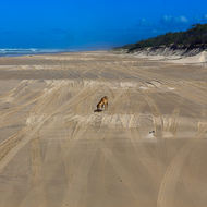 Australian dingo, canis lupus, has found something of interest on the beach.
