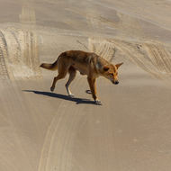 Australian dingo, canis lupus, on the beach.