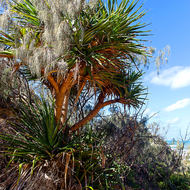 Pandanus palm, pedunculatus, on the east coast of Fraser Island.