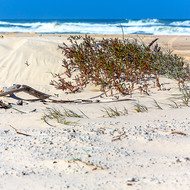 Small sand dune and stabilizing plants on the ocean side of Fraser Island.