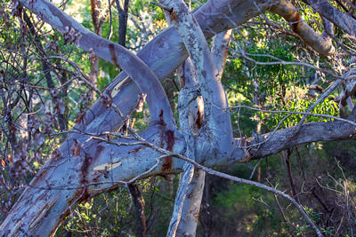 Thumbnail image ofTwisted limbs of a scribbly gum.